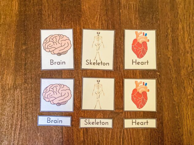 Human Body 3 Part Cards