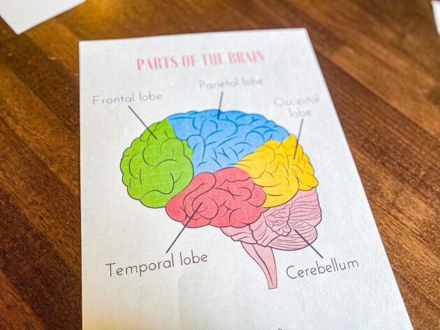 Parts of the Brain Printable